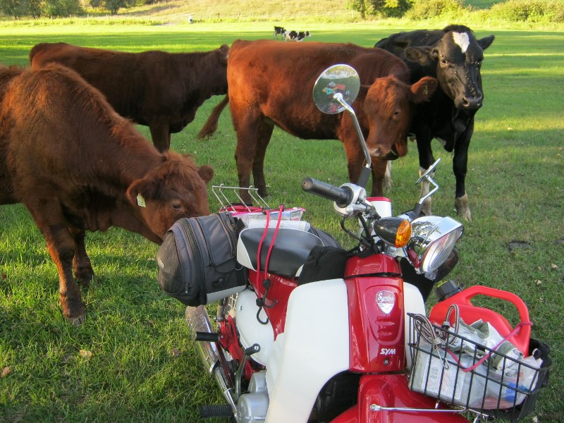 Three brown cows nuzzle the Symba bike