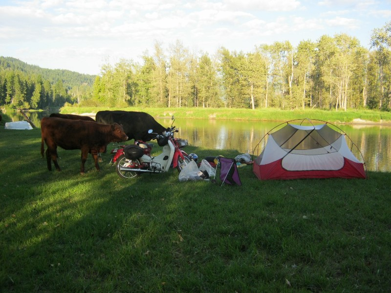 Cows sniffing Symba motorbike and tent