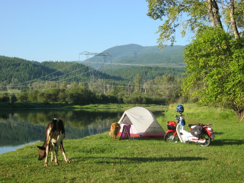 Cow, dog, tent, Symba by the side of the Shuswap River